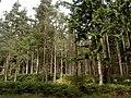 Trees in Bennachie Forest - geograph.org.uk - 516252.jpg