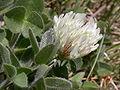 Trifolium pratense ssp nivale3.JPG