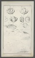Trilobites spec. - - Print - Iconographia Zoologica - Special Collections University of Amsterdam - UBAINV0274 099 01 0019.tif