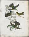 Trochilus cristatus - 1820-1860 - Print - Iconographia Zoologica - Special Collections University of Amsterdam - UBA01 IZ19100467.tif
