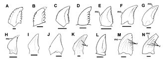 Troodon - Comparison of troodontid teeth; A is the T. formosus holotype