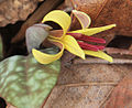 Trout lily close 2012-2.jpg