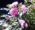 Tsarskoe Selo street flowers.JPG