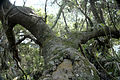 Tsitsikamma Forest 1693.jpg