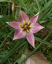 Tulipa aucheriana 240408.jpg