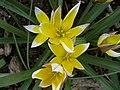 Tulipa turkestanica macro 1.jpg