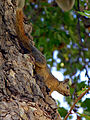 Turkey-2686 - A Turkish Squirrel........... (2217130898).jpg