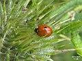 Two-spot ladybird (5876402270).jpg