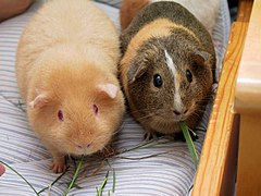 Two adult Guinea Pigs (Cavia porcellus).jpg