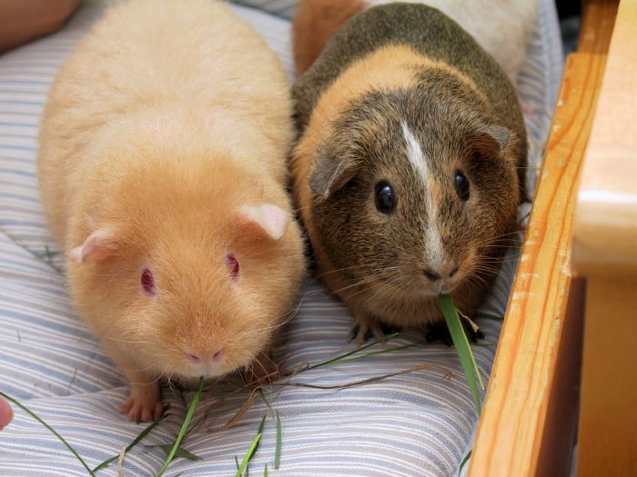 Two adult Guinea Pigs (Cavia porcellus)