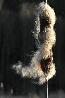 <i>Typha</i> Genus of flowering plants in the family Typhaceae