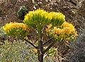 Typische Blüte von Agave sebastiana in Islas Benito in Baja Kalifornien Süd.jpeg