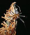 Unidentified species 040a (aka).jpg