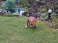 Urban fox 382.jpg