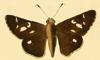 <i>Vacerra bonfilius</i> species of insect
