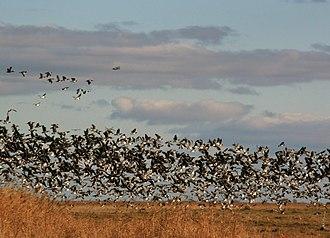 Matsalu National Park - Image: Valgepõsk lagled