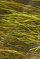 Vallisnérie Vallisneria spiralis Brantôme-Dronne 2014 2.JPG