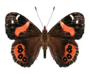 Butterflies of New Zealand - Red admiral