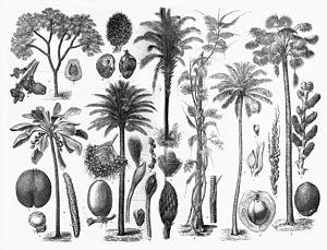 Arecaceae - Various Arecaceae