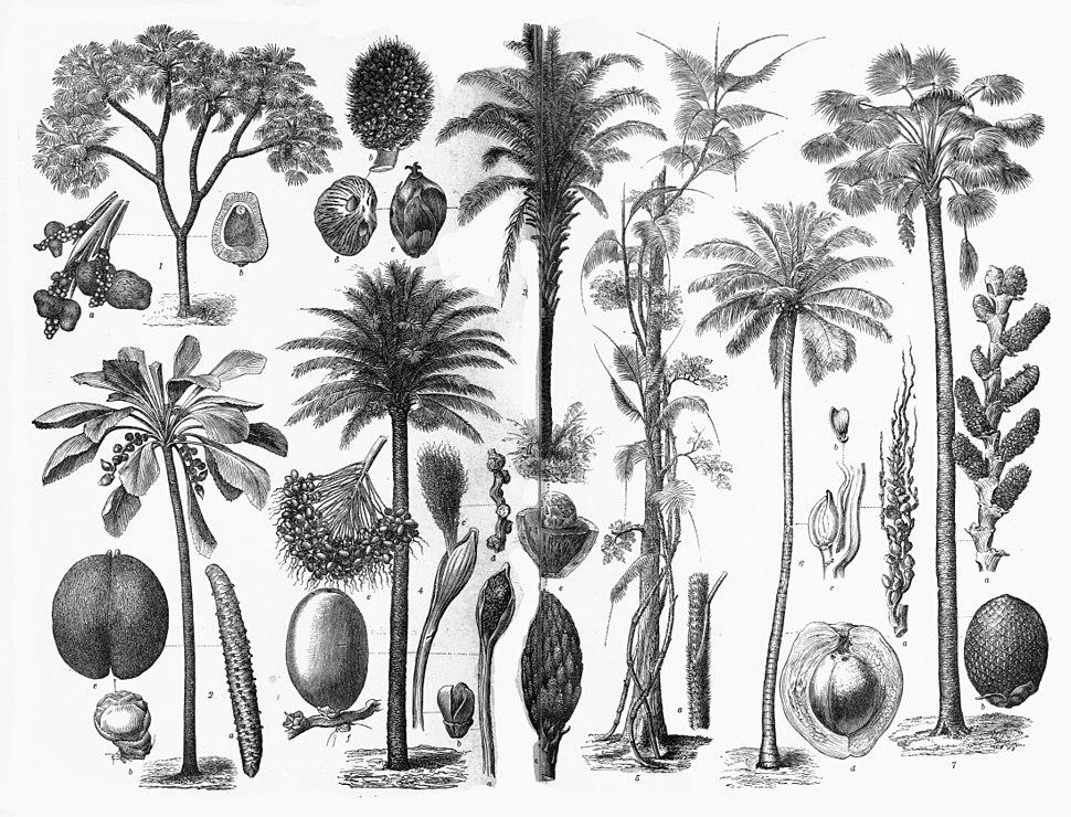 Various Arecaceae
