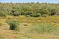 Vegetation with Bitter Aloes (Aloe ferox) (32679515342).jpg