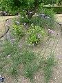 Verbena bonariensis 'Purple top' (Verbenaceae) plant.JPG