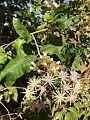 Vernonia colorata00.jpg