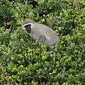 Vervet Monkey (6623555603).jpg