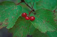 Viburnum edule fruit
