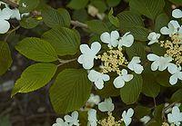 Viburnum plicatum Mariesii B.jpg