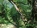 Vikos Gorge Forest Kapesovo Route01.jpg