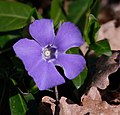 Vinca-minor-flower-JR-T20-0656-0690-2020-03-28.jpg