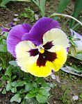Viola tricolor, detail.jpg