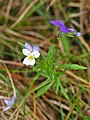 Viola tricolor Fiołek trójbarwny 2020-06-29 01.jpg