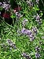 Violet flowers 2007 2.JPG
