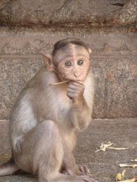 Virupaksha monkey 2.JPG
