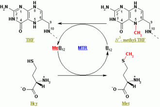 Methionine synthase - The reaction catalyzed by methionine synthase (click to enlarge)