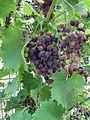 Vitis vinifera Muscat bleu.JPG