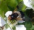 Volucella pellucens - Flickr - gailhampshire (1).jpg