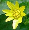 Vorterod blomst.jpg