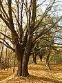 Vranovice - Stromořadí lip malolistých III.jpg