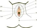 Vulva hymen miguelferig.png