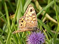 Wall Brown. Lasiommata megera (44768433670).jpg