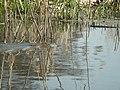 Water Vole (Arvicola terrestris) - geograph.org.uk - 71951.jpg