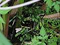 Waterlelievlinder (Elophila nymphaeata) (48319514887).jpg
