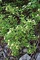 Weigela middendorffiana (Caprifoliaceae) (35332062363).jpg