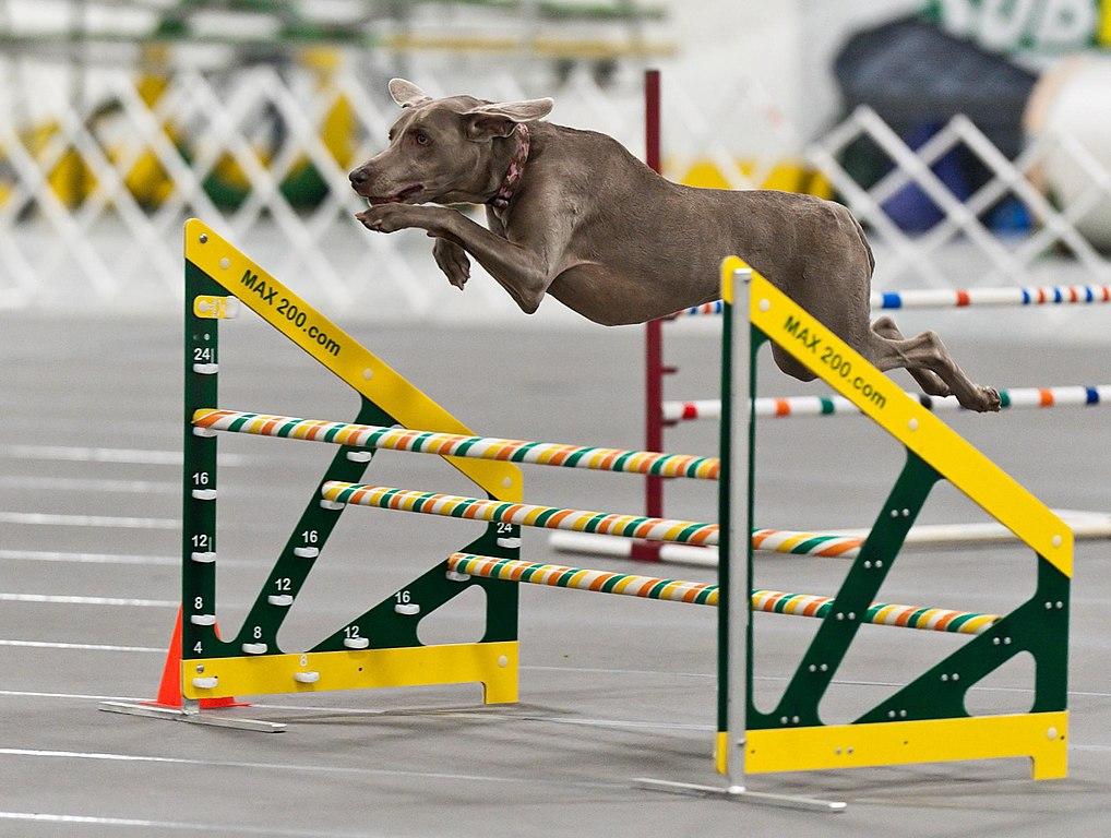 Resultado de imagen para Weimaraner jumping