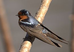 Welcome Swallow Sherwood Aug05.jpg