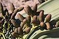 Welwitschia mirabilis 1 MHNT.jpg