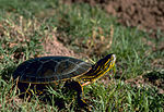 Western Painted Turtle.jpeg